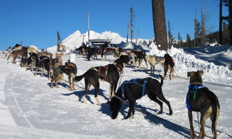 Dogs are ready at Mt Bachelor Dog Sled Tours